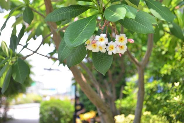 雞蛋花(Plumeria lubra linn)@文藻外語大學